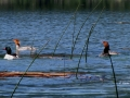 Common Mergansers on Columbia Lake BC - IMG_4246