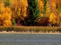 Geese Migration Gathering on Columbia Lake Provincial Park Shores - IMG_7119