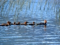 Merganser Family Swim By Columbia Lake Reeds 2017 07 02 IMG_0297