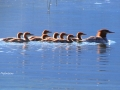 Merganser Family on Columbia Lake 2017 07 02 IMG_0295