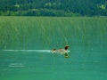 Mergansers Swim Columbia Lake BC - 2013 06 29 - IMG_2298