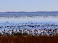 Reed Lake Saskatchewan - September Waterfowl Migration - 2016 09 26 - IMG_7917